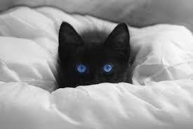 Resultat De Recherche D Images Pour Chat Noir Et Blanc Yeux Bleus Chat Noir Et Blanc Noir Au Yeux Bleu Yeux Bleus