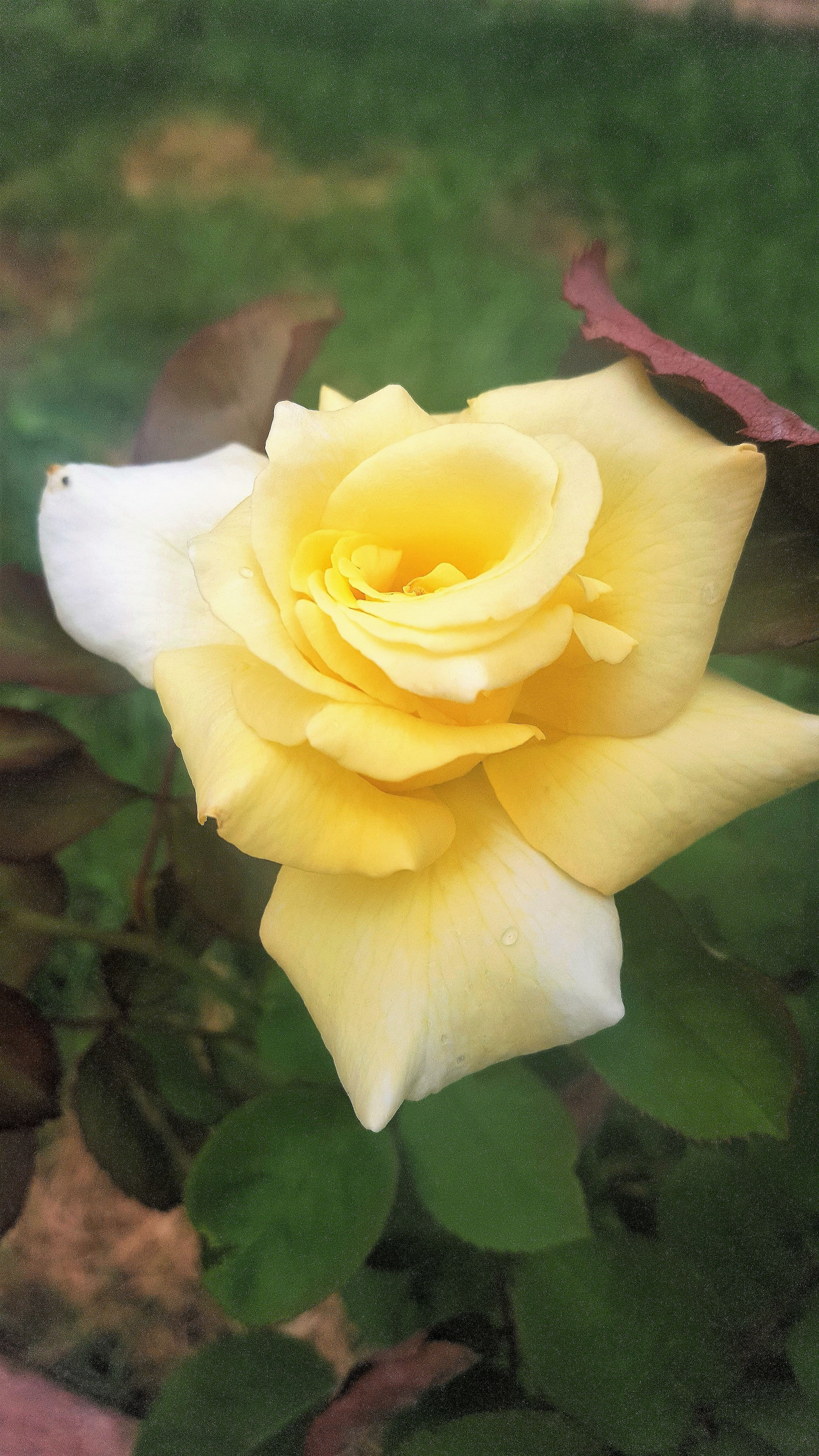 Yellow Rose Flowers Blooms Rose Yellow Yellow Roses Flowers Rose