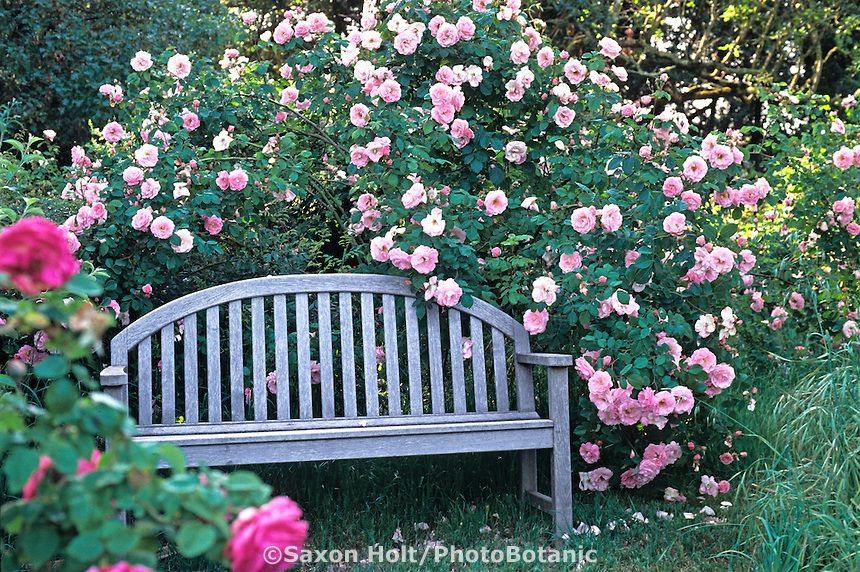 Old heirloom rose, 'Fritz Nobis' with bench, in cottage garden ...
