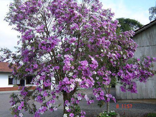 Palisanderbaum im regenwald  Manacá da Serra - Mata Atlântica - Brasil   Manacá da Serra   Pinterest