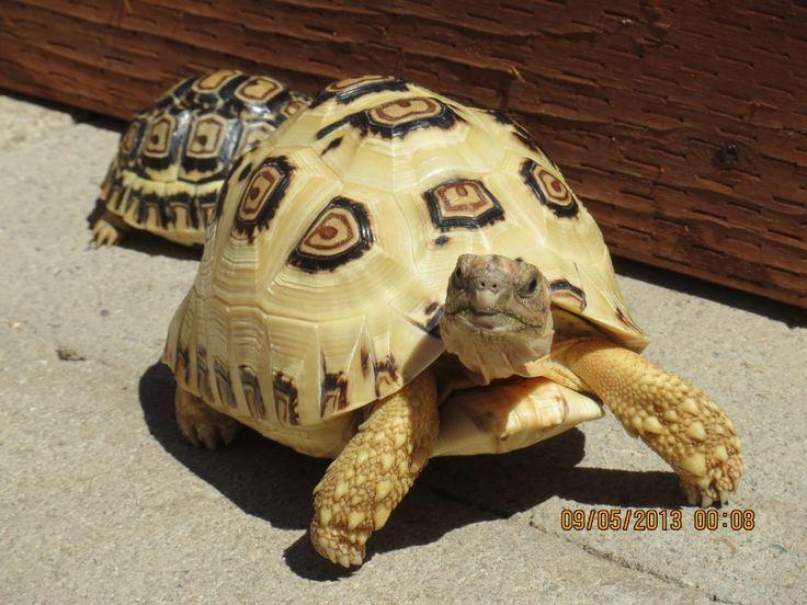 cute baby tortoises Google Search Baby tortoise