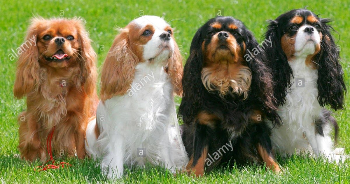 Cavalier King Charles Spaniel Four Adults Of Different About Cavaliers The Companion Cavalier King Charles Spaniel King Charles Spaniel Cavalier King Charles