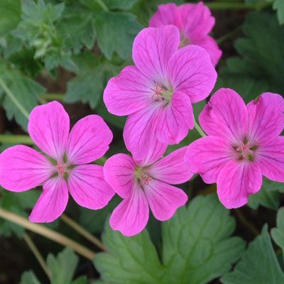 Geranium x riversleanum 'Russel Prichard' - Flowering from summer until the frosts with light magenta flowers produced continuously on trailing stems. Forms a low spreading mound of silvery green foliage. Best in full sun