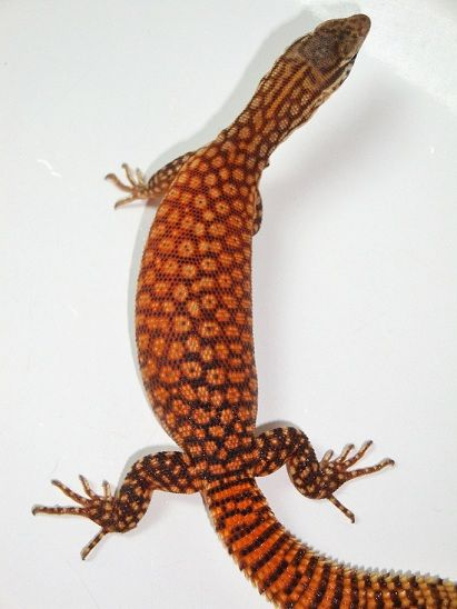Red Ackie Monitor Reptiles Pet Reptiles And Amphibians Monitor Lizard