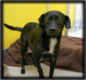 Petango Com Meet Midnight A 3 Years Retriever Labrador Mix Available For Adoption In Rochester Mn Gave Birth Shortl Dog Adoption Cute Animal Photos Pets