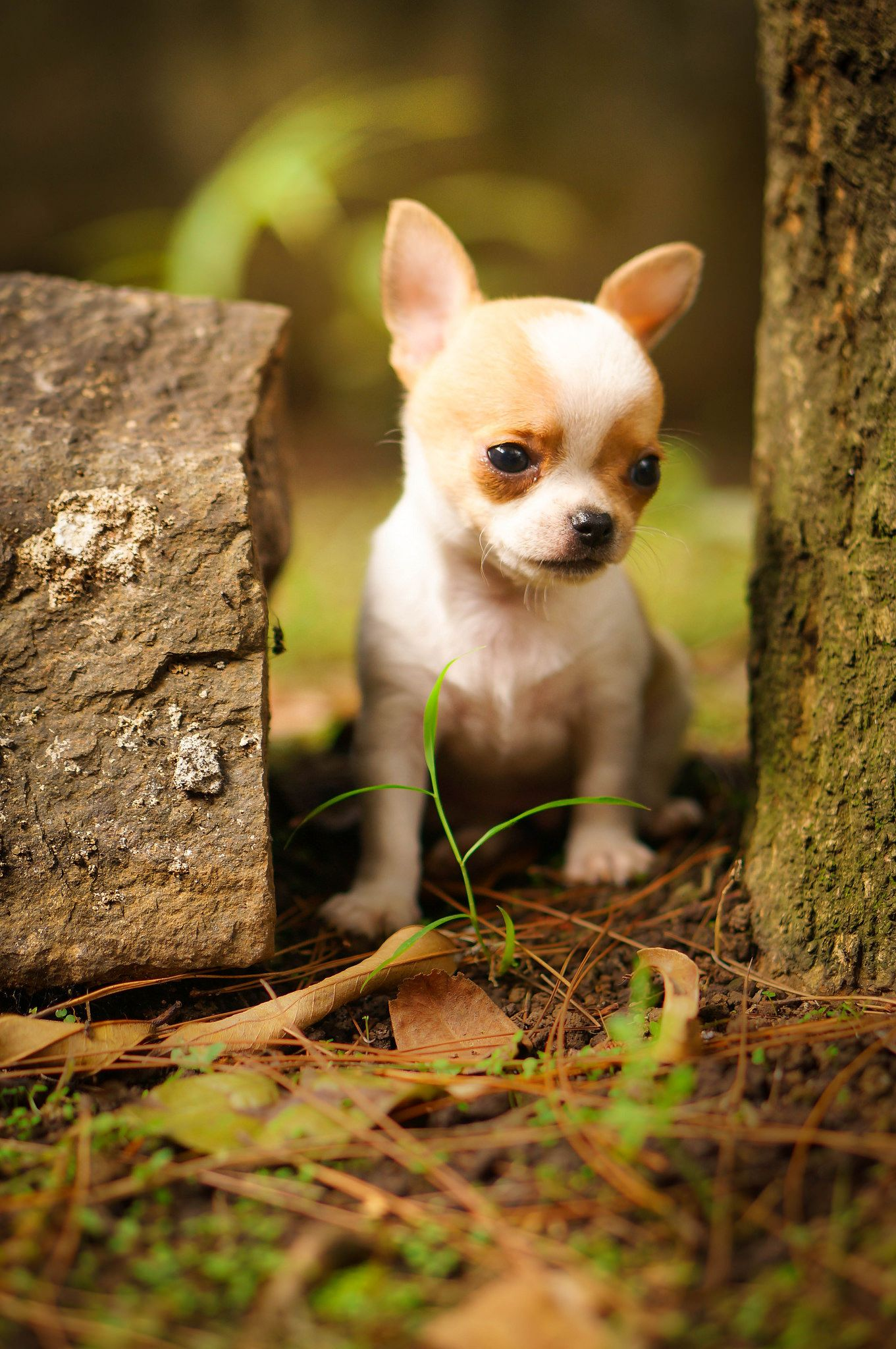 Tiny Brown White Male Chihuahua Shorthair He Has Very Short