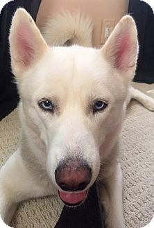 06 28 16 Sl Siberian Husky Dog For Adoption In Staten Island