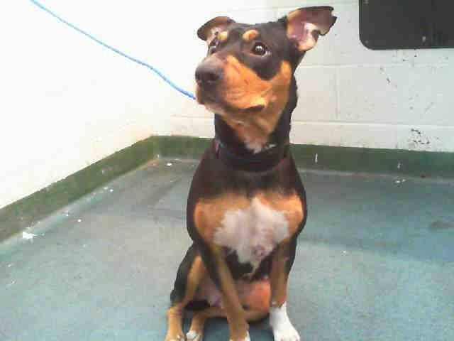 Urgent Dogs of Miami · BECKY (A1670338) I am a female tricolor Terrier. The shelter staff think I am about 2 years old. I was found as a stray and I may be available for adoption on 01/09/2015. — https://www.facebook.com/urgentdogsofmiami/photos/pb.191859757515102.-2207520000.1420553793./902498929784511/?type=3&theater