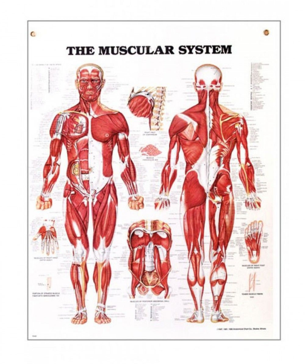 Image result for the muscular system | Human Anatomy | Pinterest