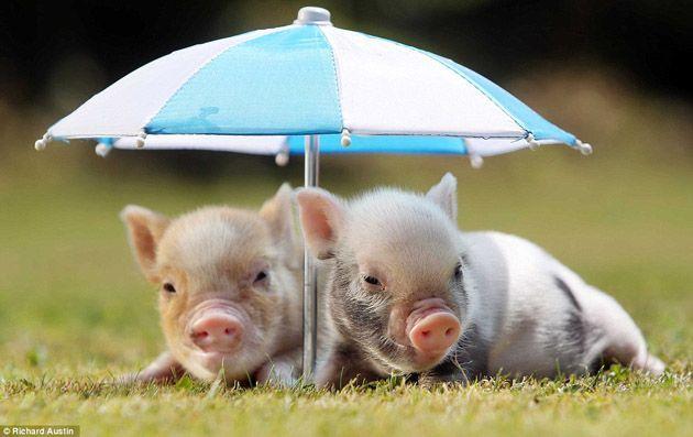 Zwergschweine