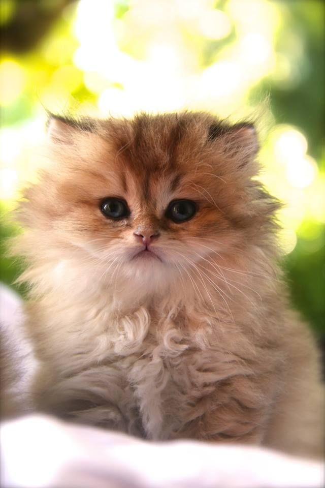 20 Most Popular Long Haired Cat Breeds Kittens Cutest Cute Cats And Dogs Cute Cats