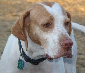 Adopt Tressie Mae Minnesota On Petfinder English Pointer Dog Sporty Dog Dogs