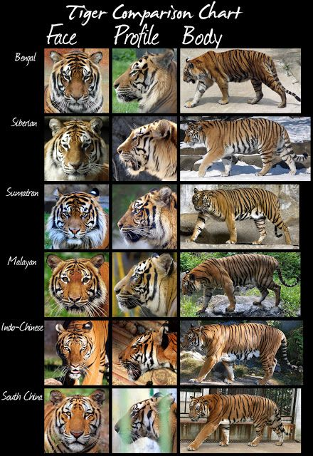 All Of The Tigers And Their Differences With Images Big Cats