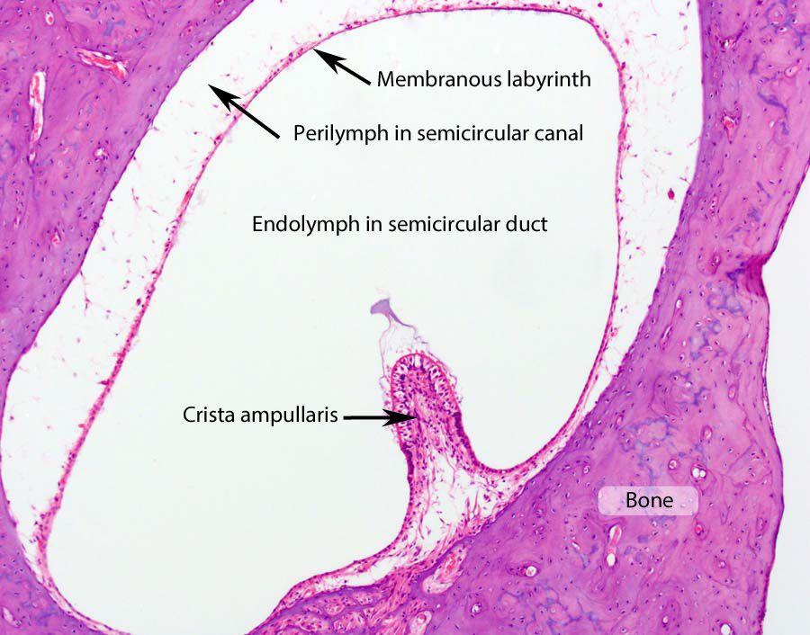 Human Anatomy - vestibular system | Для презентации | Pinterest ...