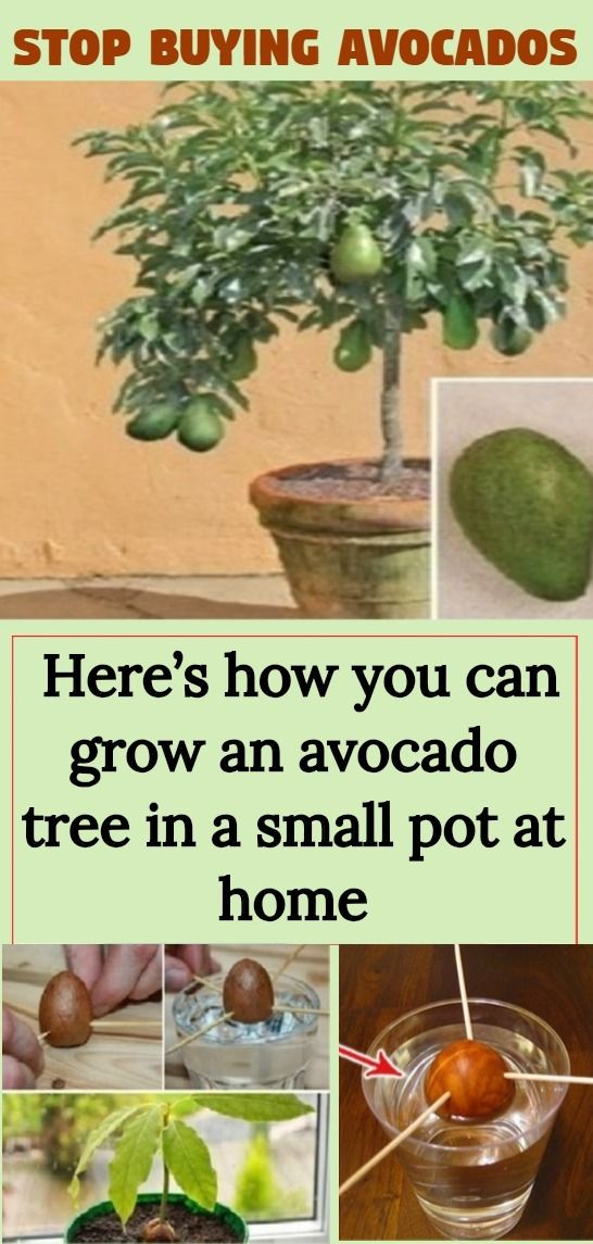 Stop Buying Avocados Here S How You Can Grow An Avocado Tree In A Small Pot At Home Grow Avocado Avocado Tree