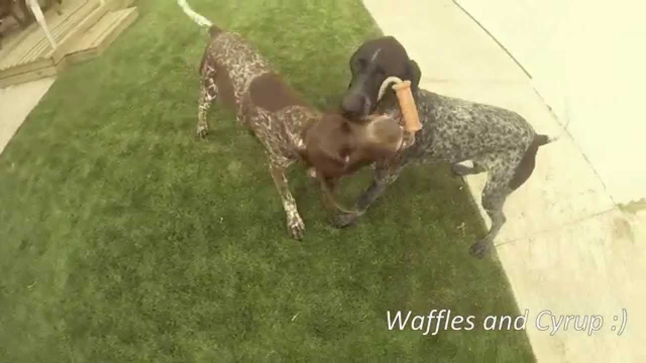 Waffles and Cyrup with Major Dog's Scuffle Dummy
