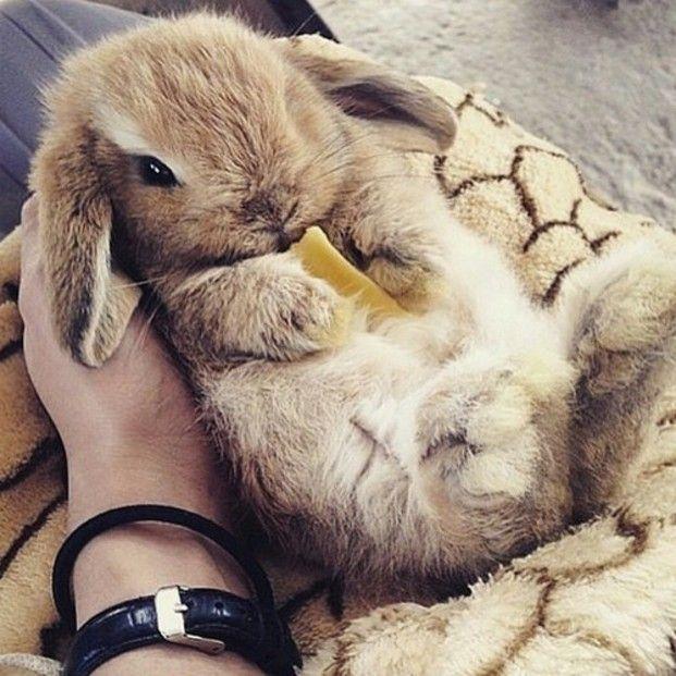まるでぬいぐるみ たれ耳ウサギ ロップイヤー に癒やされて かわいい動物の赤ちゃん ペット用品 美しい動物