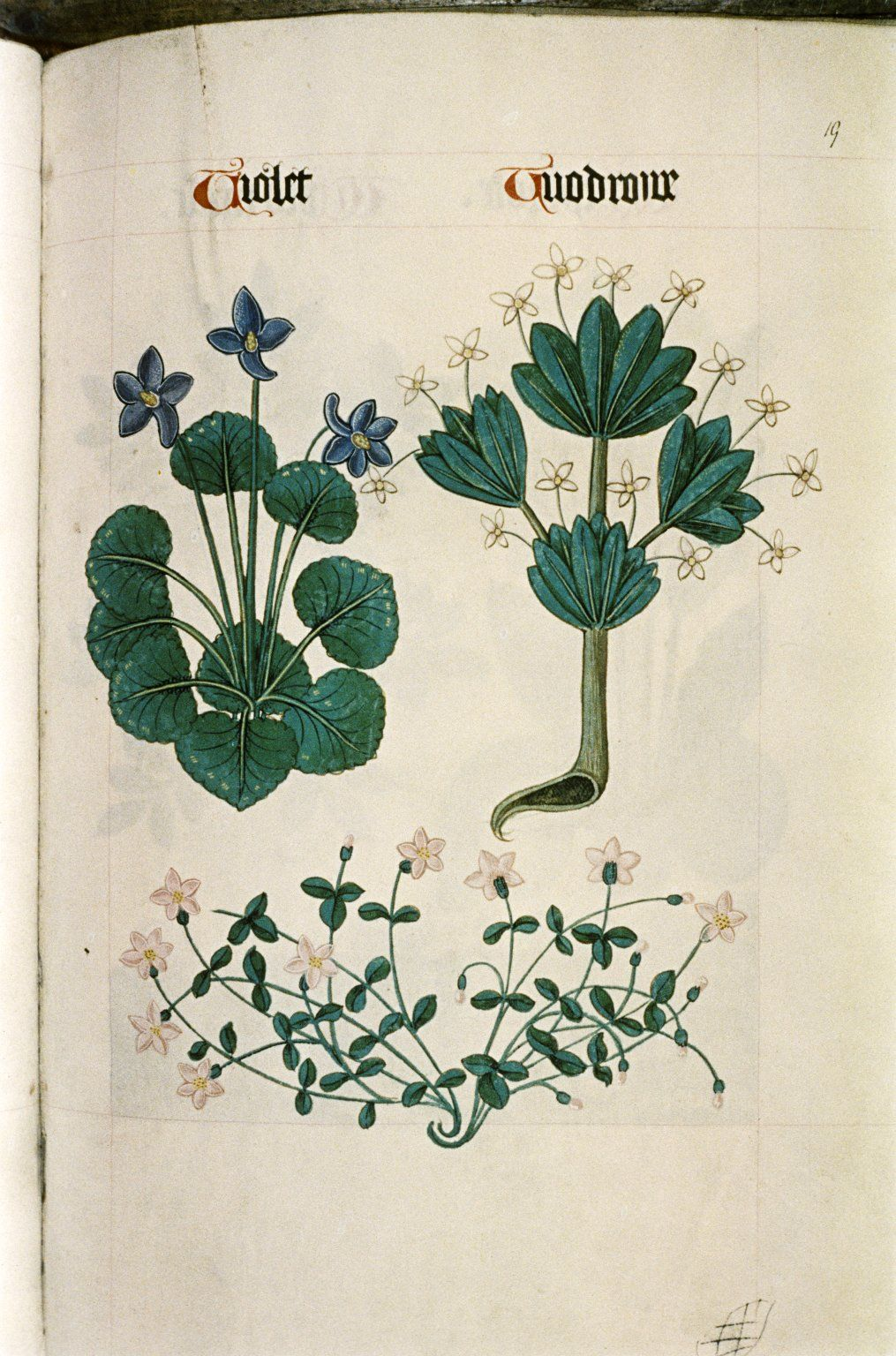 """Violet and Woodruff, two sprays of pink star-shaped flowers, in """"The Tudor  Pattern book"""", ca. 1520/30, Ms Ashmole 1504"""
