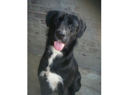 Charlie Rescue Dog 3 But Sooooo Big Great Dane X Wolfhound