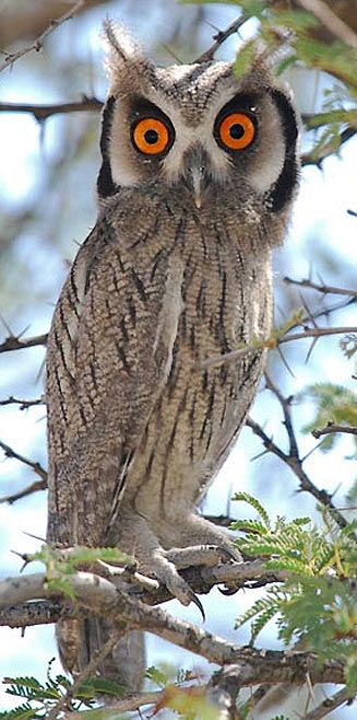 Ptilopsis granti (Southern white-faced scops-owl, White-faced owl)           Witwanguil