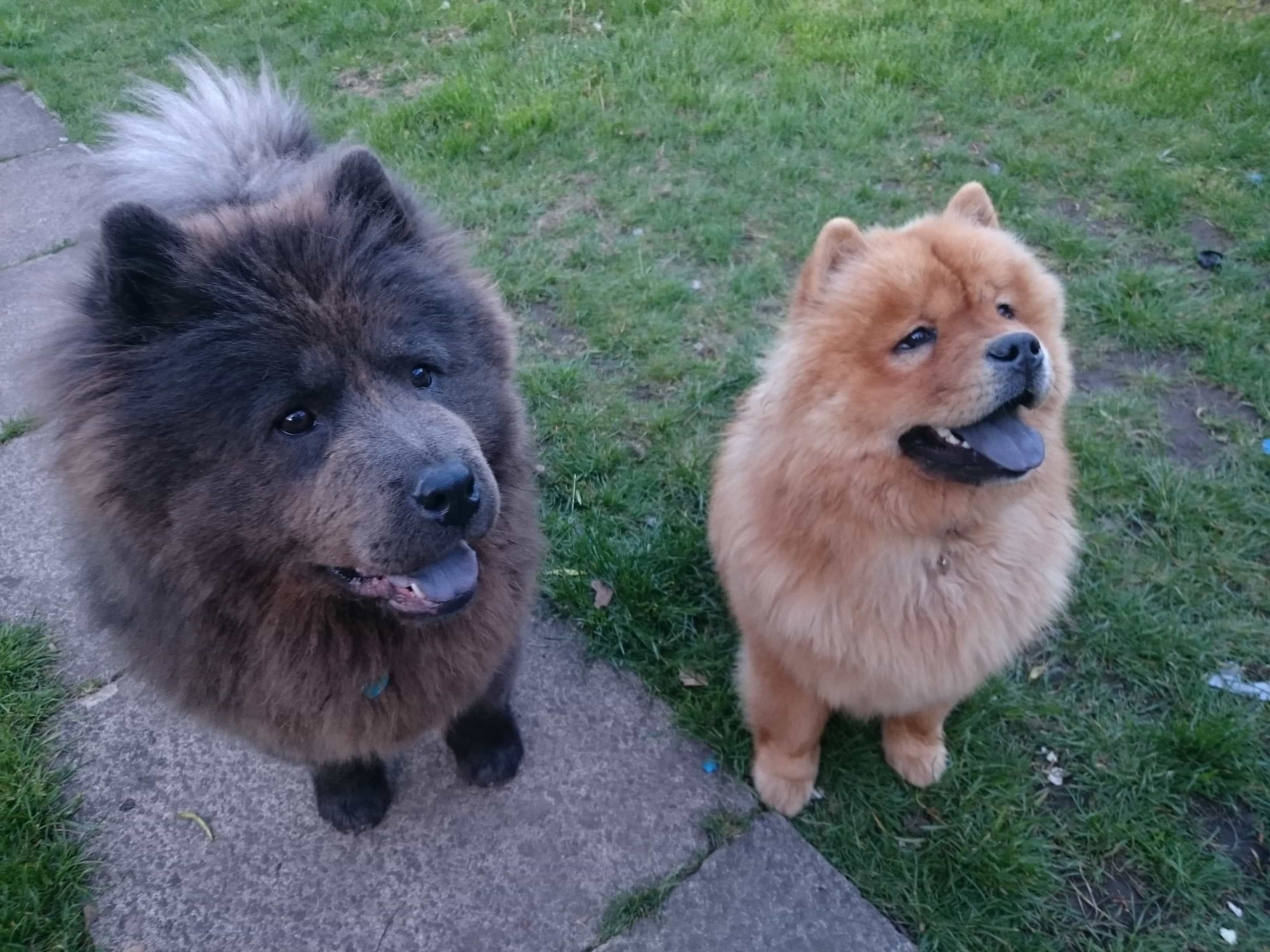 23 Chow Chows Black And White In 2020 Dogs Dog Dye Panda Dog