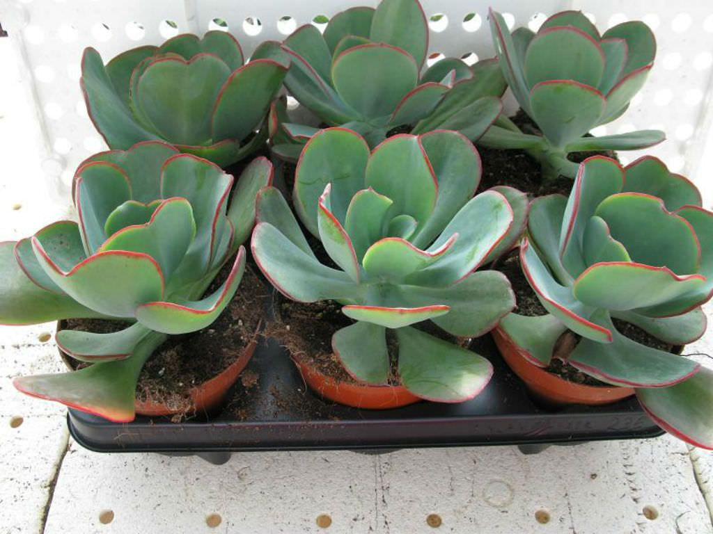 Echeveria Gigantea Giant Hens And Chicks World Of Succulents Succulents Echeveria Large Succulent Plants