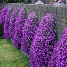 Ideal for growing between rocks and paving stones, this low-growing ground hugger enjoys a limey, well-drained soil. Its flowers are blue-purple to rosy-lilac. Family: – Synonym: – Botanical Pronunciation: aw-bree-EH-tuh