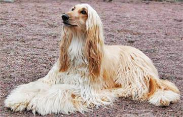 She Could Be The One Of The Best Pets Ever Elegant Afghan Hounds