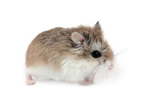 10 Most Popular Hamster Names Hamster Names Cute Animals Funny