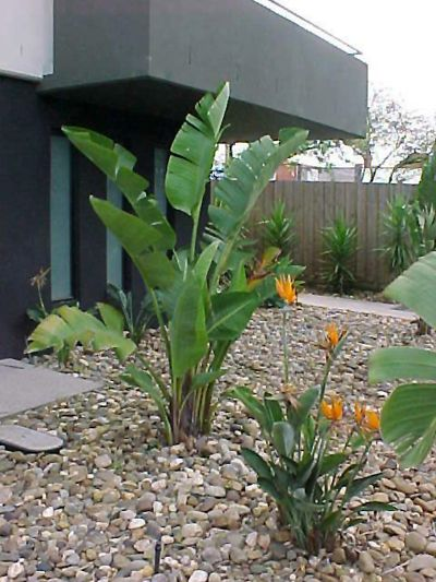 birds of paradise landscaping