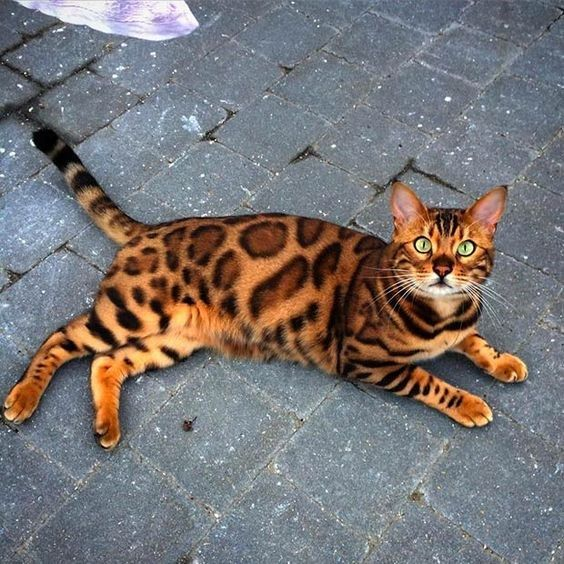 14 Bengal Cats Whose Gorgeous Leopard Like Spots Will Hypnotize