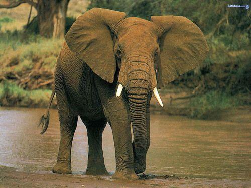 Elephants Fagi Pinterest Animal Kingdom Elephant Wallpaper