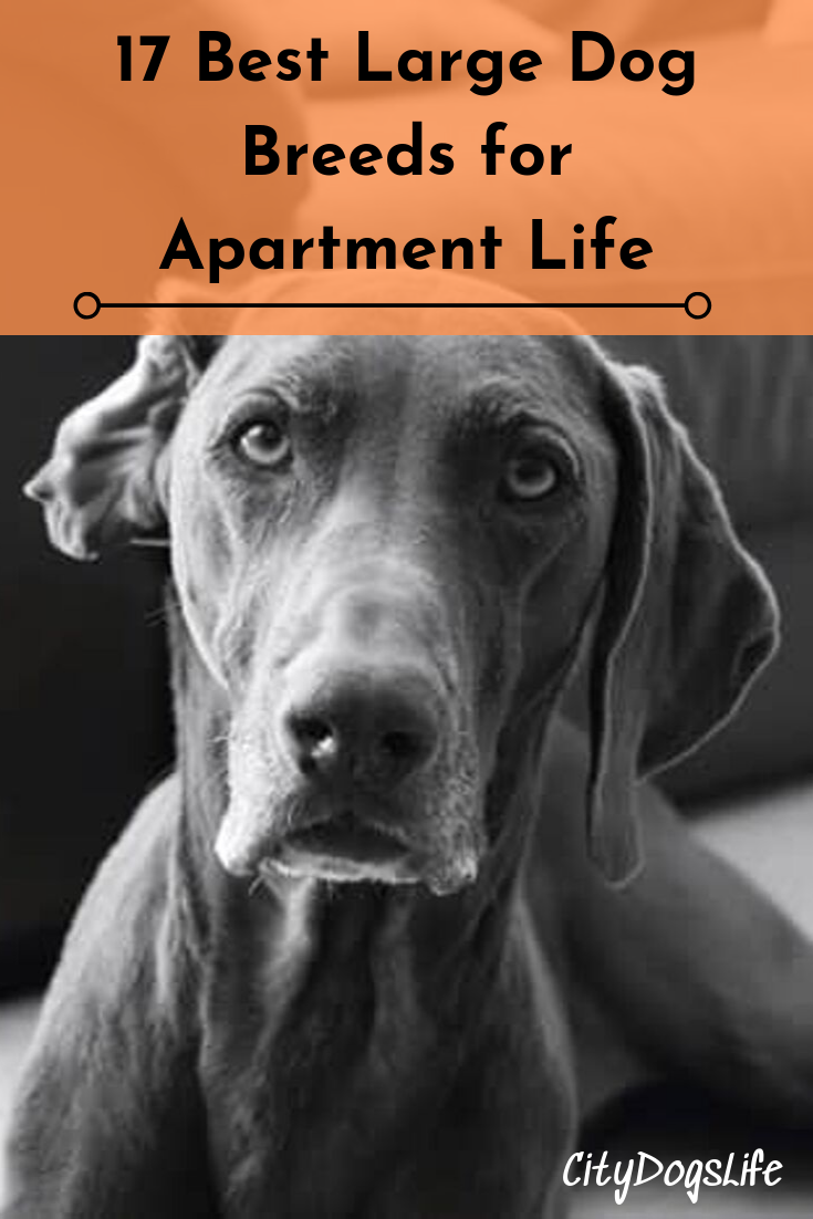 17 Best Large Dog Breeds For Apartment Life With Images Large