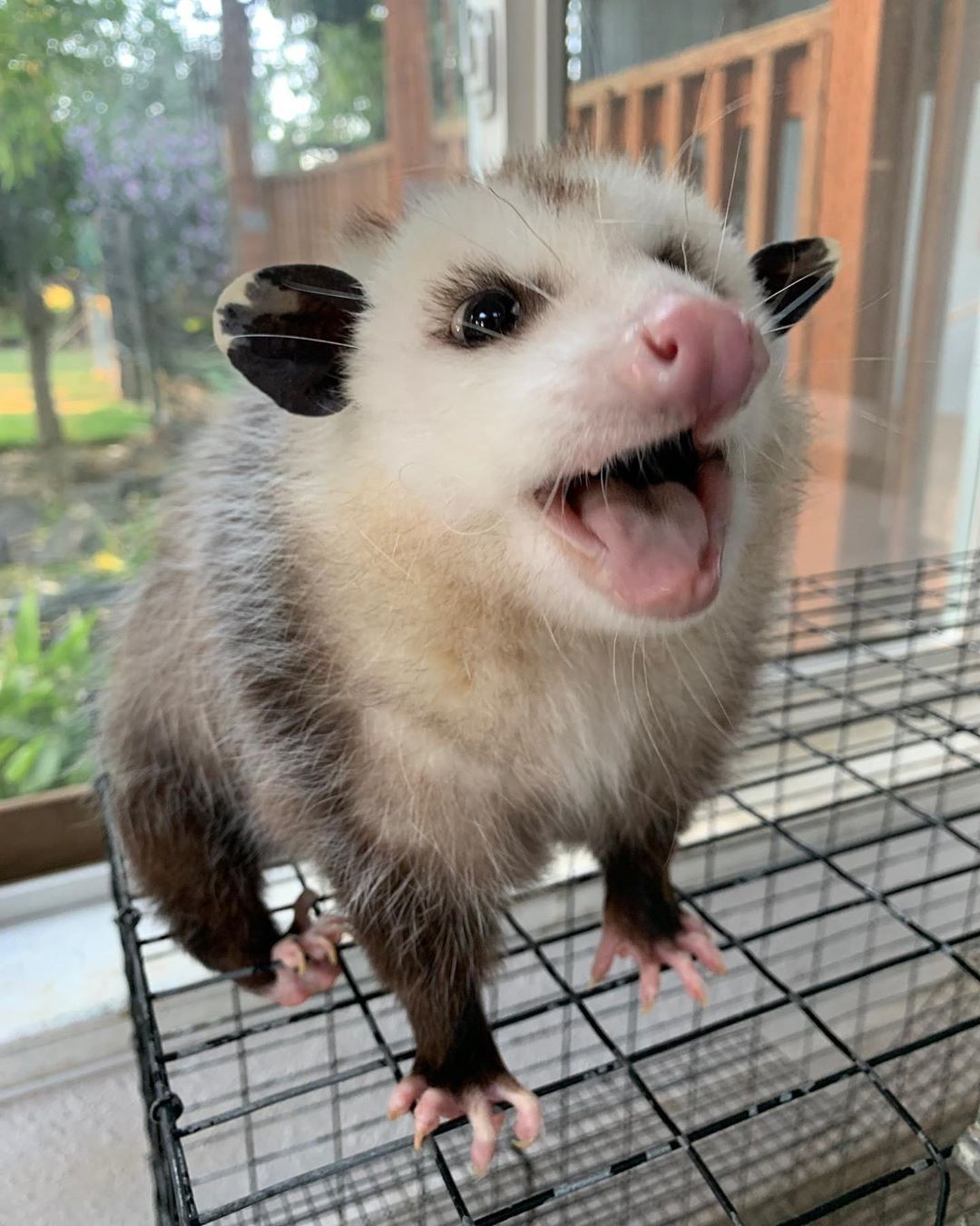 pet possum for sale arkansas