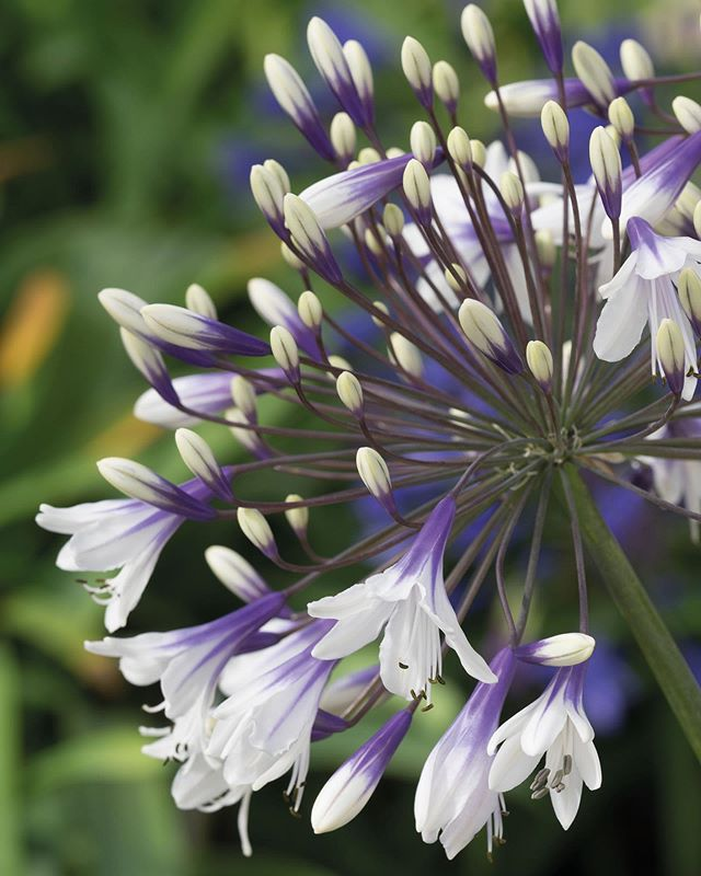 Pin By Katriina Peltomaa On White Perennials In 2020 Agapanthus Plant Agapanthus Lavender Plant