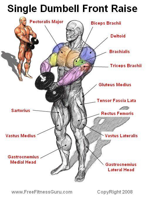 Dumbell Front Raise Anatomy