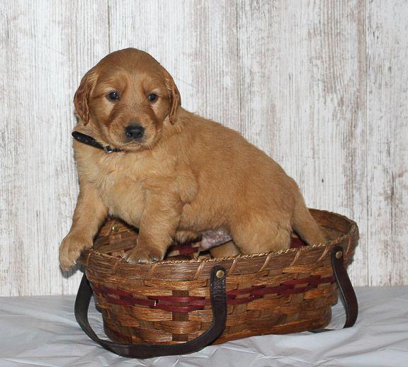 Trace a male Golden Irish APRI puppy for sale in