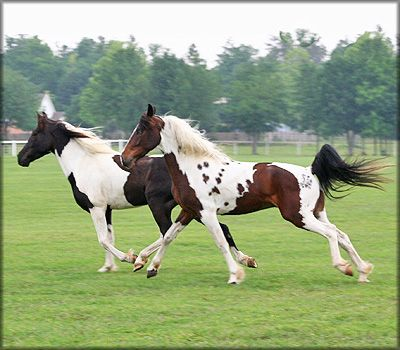 BELLAMORE WALKERS - Tennessee Walking Horse Broodmare - Patches Freckled Angel (Freckles)