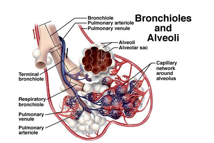 Bronchioles Alveoli Human Body Unit Pinterest Respiratory