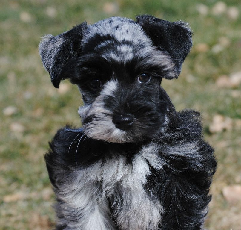 Co Female Merle Schnauzer Merle Schnauzer Breeder Schnauzer Puppy Mini Schnauzer Mini Schnauzer Puppies