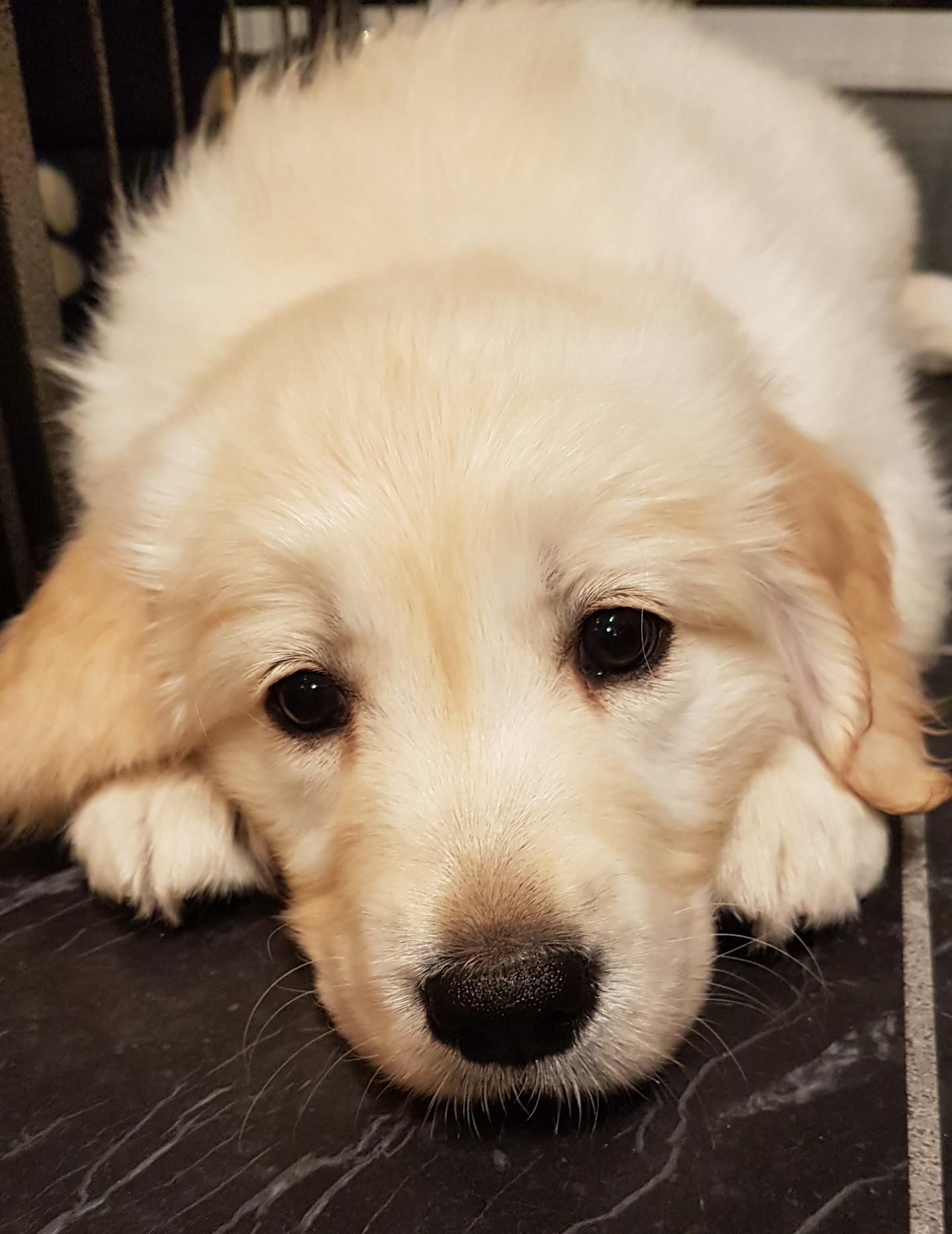 Bonzo S First Night Home Goldenretriever Cute Dogs And Puppies