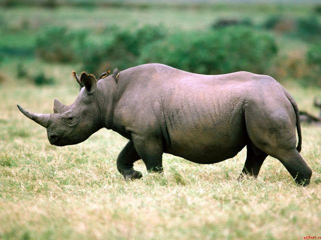 Bedreigde dieren: De Javaanse neushoorn.