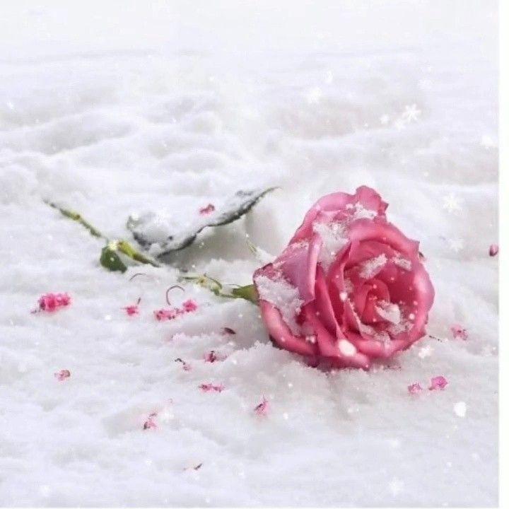 фото розы на снегу и след человека нашей компании всегда