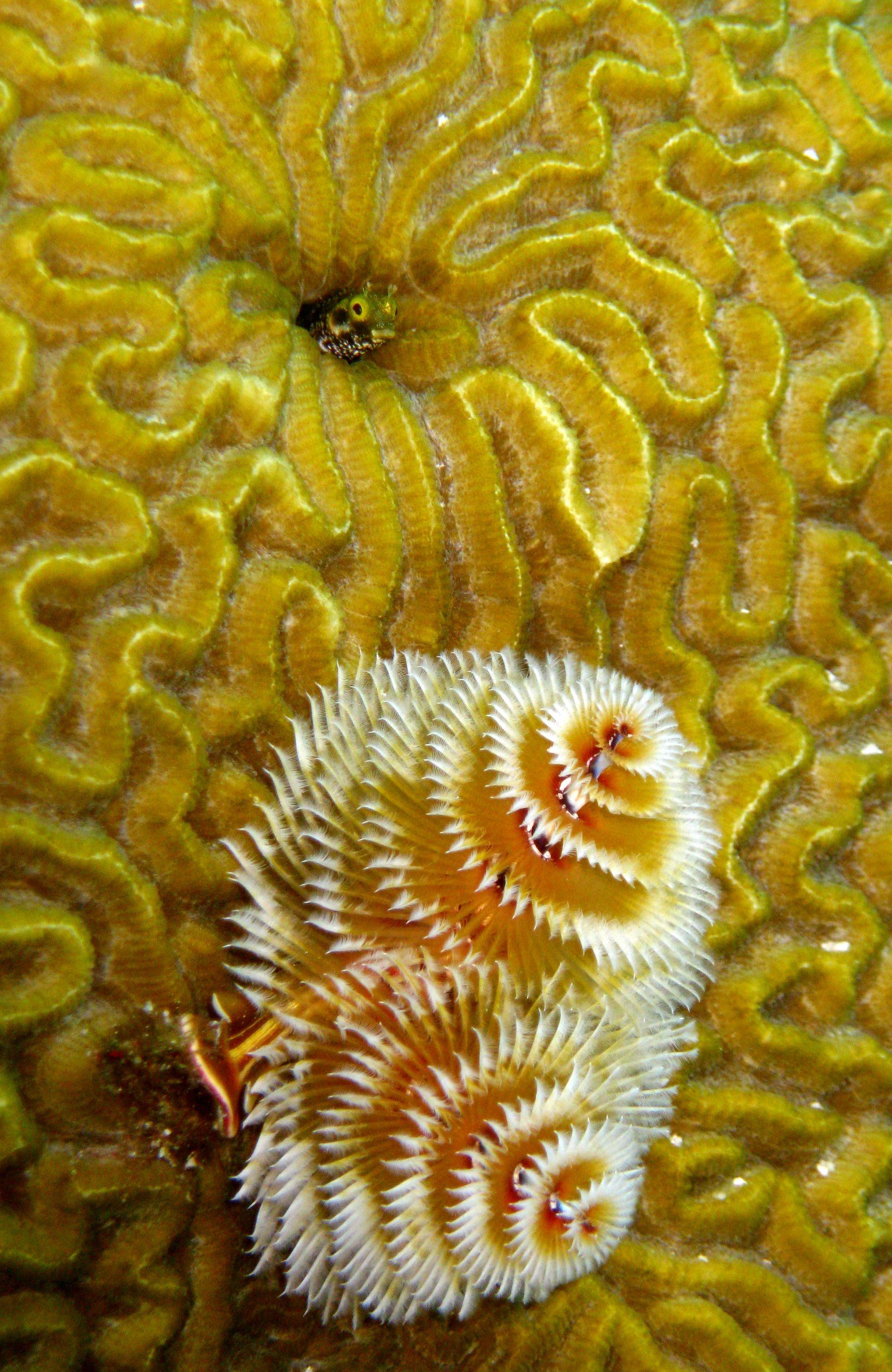 Secretary Blenny Atop Christmas Tree Worms Bonaire Bonaire Under The Sea Sea Creatures