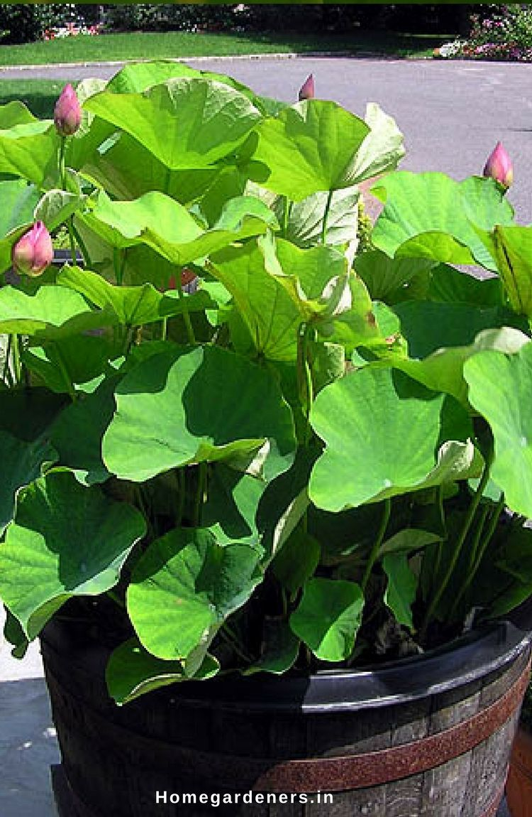 Sacred lotus how to grow and care for lotus plants lotus lotus flowers are beautiful aquatic plants that represent beauty and purity at home indoors these izmirmasajfo Images