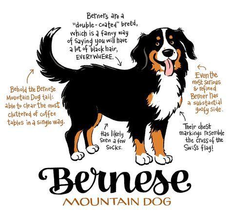 Image Result For Bernese Mountain Dog Burmese Mountain Dogs Bermese Mountain Dog Mountain Dogs