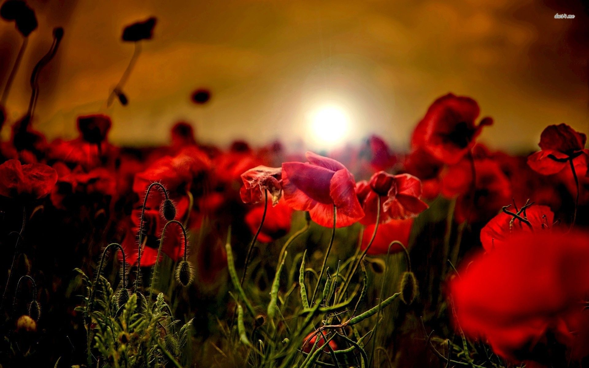 poppy hd wallpapers backgrounds wallpaper 1600a—900 poppy images wallpapers 38 wallpapers