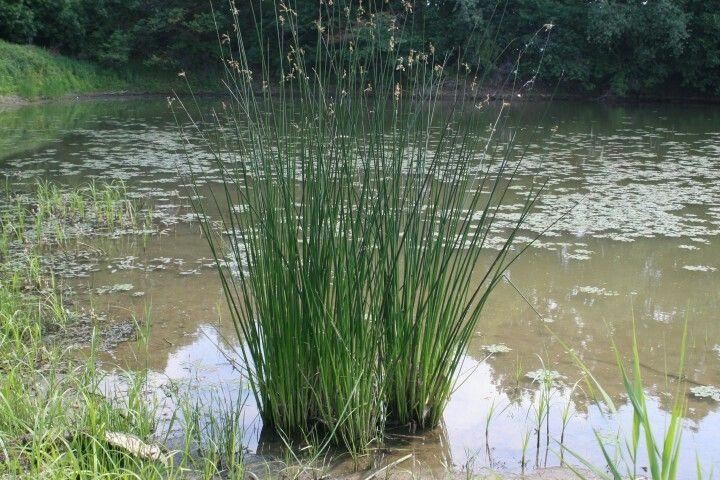 Scirpus lacustris, un jonc à grosses tiges cylindriques, jusqu'à 3 de haut.