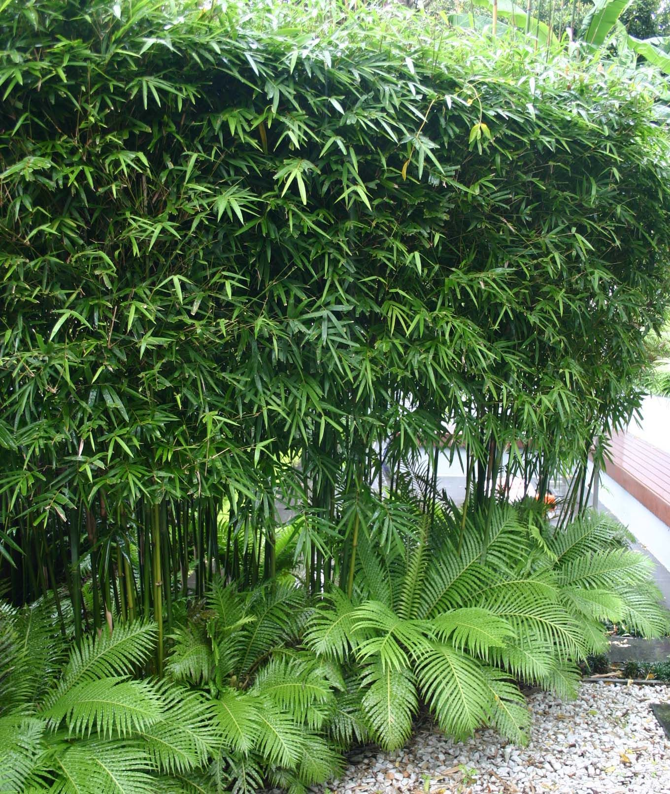Planting For Privacy Bamboo Garden Tropical Garden Privacy Plants