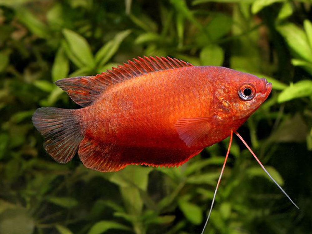 Trichogaster Chuna Red Price 2 48 Gbp Worldwide Shipping Https Diapteron Co Uk Product Tr In 2020 Aquarium Fish Fresh Water Fish Tank Tropical Freshwater Fish